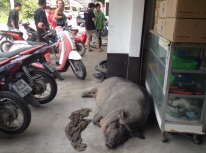 Some people have dogs for pets, other pigs!