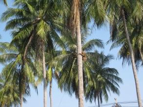 Monkey scaling tree for coconuts