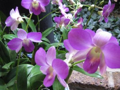 Orchids-Jim Thompson House garden