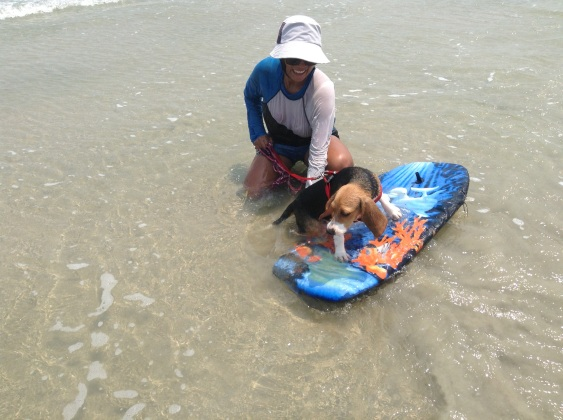 Surfing beagle