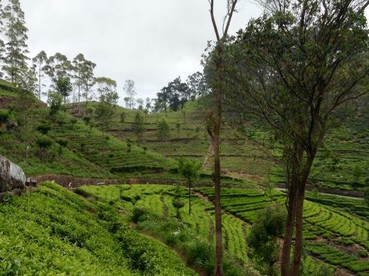 Dambutanne tea plantation