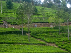 Trekking through the tea plantation
