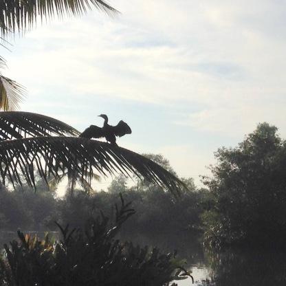 Cormorant drying wings