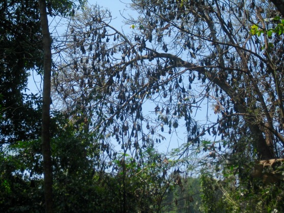 Bats in Royal Botanical Garden