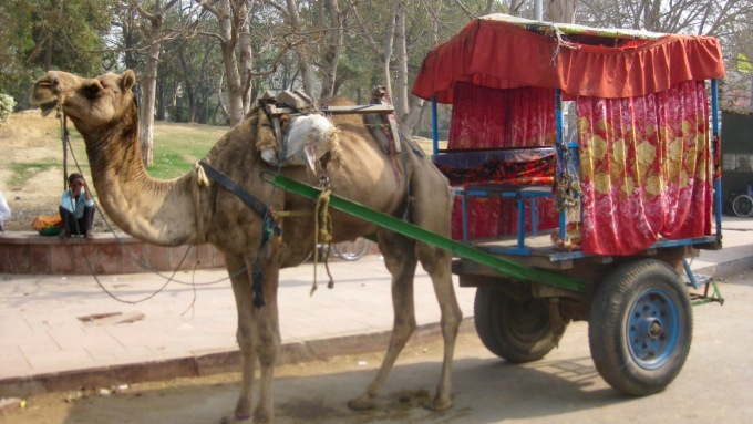 Camel taxi to the Taj