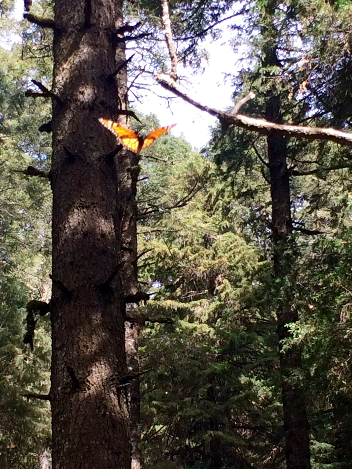 Chasing Butterflies at the Reserva MariposaMonarca